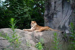 Leeuwin op rots Stock Afbeelding