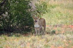 Leeuwin in struik, Namibië Stock Foto's