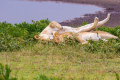 Leeuwin twee door een Waterhole Royalty-vrije Stock Foto's