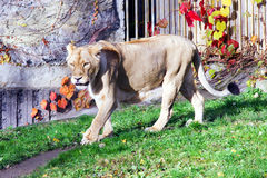 Leeuwin, vriendschappelijke dieren bij de Dierentuin van Praag Stock Foto's