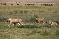 leeuwinnen royalty-vrije stock afbeelding