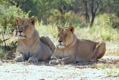 Leeuwinnen in Afrika Royalty-vrije Stock Afbeelding
