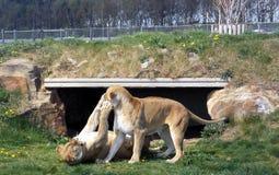 Leeuwinnen bij spel royalty-vrije stock fotografie