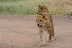 leeuwinnen die in de savanne in het Nationale Park van Serengeti lopen Stock Foto's
