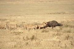 Leeuwinnen die een waterbuffel aanvallen Royalty-vrije Stock Afbeeldingen