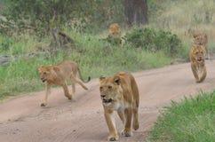 Leeuwinnen en jonge leeuwen die in de savanne in het Nationale Park van Serengeti lopen Stock Foto's