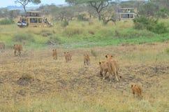 Leeuwinnen en jonge leeuwen die in de savanne in het Nationale Park van Serengeti lopen Royalty-vrije Stock Fotografie