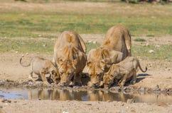 Leeuwinnen en welpen het drinken royalty-vrije stock afbeelding