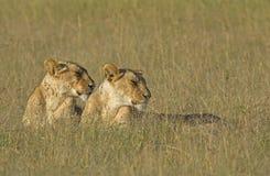 Leeuwinnen in vroege leo van ochtend lichte Panthera Royalty-vrije Stock Fotografie