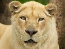 Leeuwinportret Royalty-vrije Stock Afbeeldingen