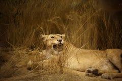 Leeuwinportret royalty-vrije stock fotografie