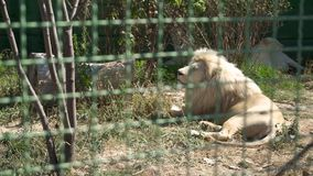 Leeuwinrust bij de dierentuin stock videobeelden