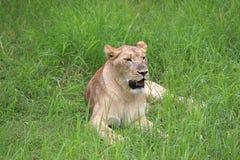 Leeuwinzitting in het gras royalty-vrije stock fotografie