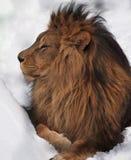 Leeuwkoning bij het wit Stock Afbeeldingen