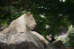 Leeuwkoning die één of ander ding kijkt Royalty-vrije Stock Afbeelding
