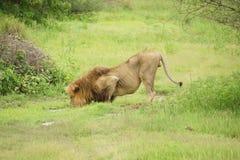 Leeuwmannetje in het drinken van Afrika van een vulklei stock afbeeldingen