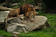 Leeuwmannetje op de rotsachtige plaats in de gevangenschap stock afbeelding