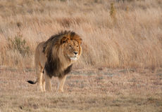 Leeuwoverpeinzing Royalty-vrije Stock Fotografie