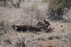 Leeuwslaap terwijl de gieren van het doden voeden Royalty-vrije Stock Foto's
