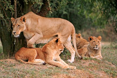 Leeuwtrots stock foto's