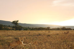 Leeuwtrots Afrika Royalty-vrije Stock Foto
