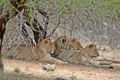 Leeuwtrots die (Panthera-leo Krugeri) ontspannen royalty-vrije stock afbeeldingen