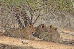Leeuwtrots die (Panthera-leo Krugeri) ontspannen royalty-vrije stock foto