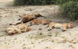 Leeuwtrots, een familie van leeuwinnen die en in de savanne slapen rusten Royalty-vrije Stock Afbeelding