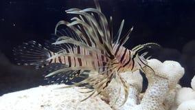 Leeuwvissen Pterois volitans stock foto's