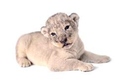 Leeuwwelp Royalty-vrije Stock Foto