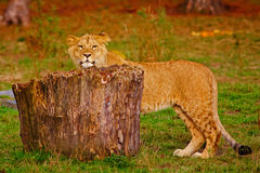 Leeuwwelp achter een stomp Stock Afbeeldingen
