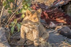 Leeuwwelp bij een Buffelsdoden Stock Afbeeldingen
