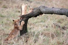 Leeuwwelp die de reserve van Masai Mara in Kenia Afrika spelen Stock Foto