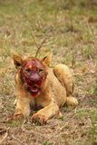 Leeuwwelp genieten van bederft Stock Afbeeldingen