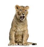 Leeuwwelp zitting en geeuw Stock Foto's