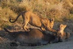 Leeuwwelpen die op karkas voeden stock fotografie