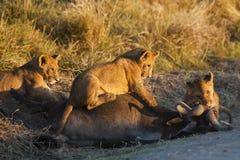 Leeuwwelpen die op meest wildebeest karkas, Kenia voeden stock afbeelding