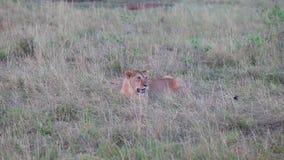 leeuwzitting in het gras avond stock video