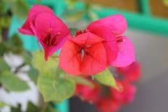 Lefkada kwiaty zdjęcia stock