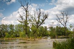 Left bank of the river Riv, old adn dry willow trees in water, mysterious sunny summer morning landscape. Left bank of the river Riv, old adn dry willow trees in stock image