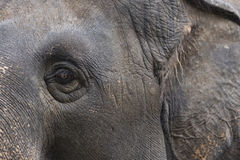 Left eye and ear elephant Stock Photos