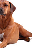 Left half of rhodesian ridgeback Royalty Free Stock Photo