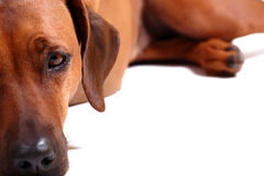 Left half of rhodesian ridgeback Royalty Free Stock Image