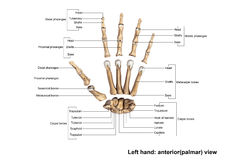 Left Hand anterior palmer Scattered view Royalty Free Stock Image