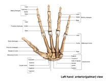 Left Hand anterior palmer view Royalty Free Stock Photos