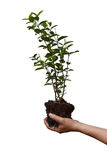 Left hand Asian man holds soil with tree roots and growth,isolated on white background with clipping path. Stock Photography