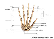 Left Hand Posterior dorsal view. The phalanges are the bones that make up the fingers of the hand and the toes of the foot. There are 56 phalanges in the human royalty free stock photography