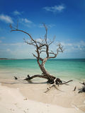 Left by the hurricane. A dead tree left on the beach by an hurricane stock image