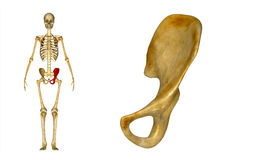 Left Pelvic bone Stock Photography