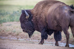 Left profile of American bison or buffalo Royalty Free Stock Image